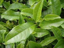فروش چای سبز تازه لاهیجان با خواص بالا