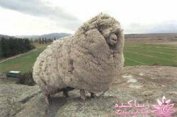 فروش پشم گوسفند