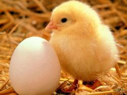تخم نطفه دار و خوراکی -دستگاه جوجه کشی- ماشین پرکن