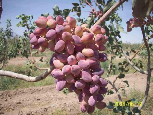 مرغوبترین نوع نهال پسته  گلدانی و نهال انار
