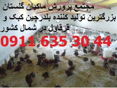 بزرگترین مجتمع پرورش کبک استان گلستان