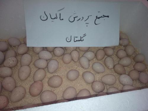 فروش کبک زنده و تخم نطفه دار کبک