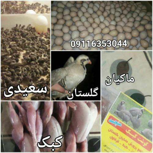 پرورش خرید و فروش کبک قرقاول ،تخم نطفه دار و جوجه کبک