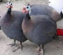 خرید و فروش تخم نطفه دار مرغ شاخدار ، جوجه مرغ شاخدار