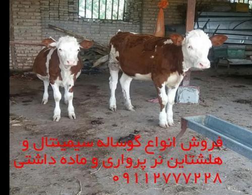 فروش ویژه گوساله پرواری وشیری