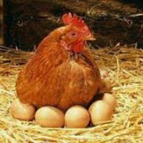 فروش مرغ تخمگذار۰۹۱۲۲۸۹۳۴۸۳