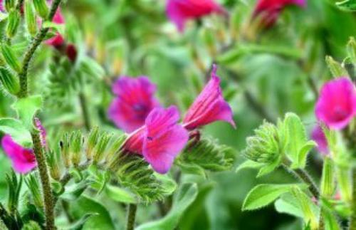 فروش گل گاوزبان ایرانی