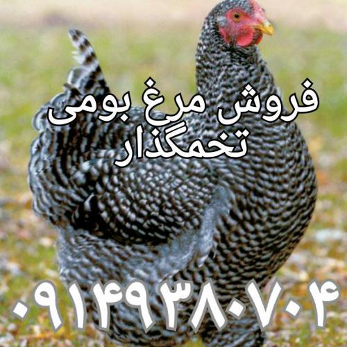 فروش جوجه یکروزه و نیمچه مرغ (گوشتی و بومی )