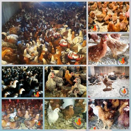 فروش جوجه یکروزه بومی جوجه محلی نیمچه مرغ بومی تخمگذار