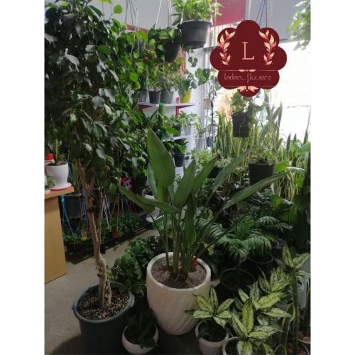 فروش انواع گیاهان آپارتمانی، کود، سم، خاک، گلدان، پایه