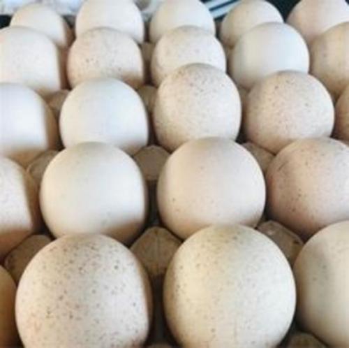 فروش تخم نطفه دار بوقلمون///////برنز آمریکایی